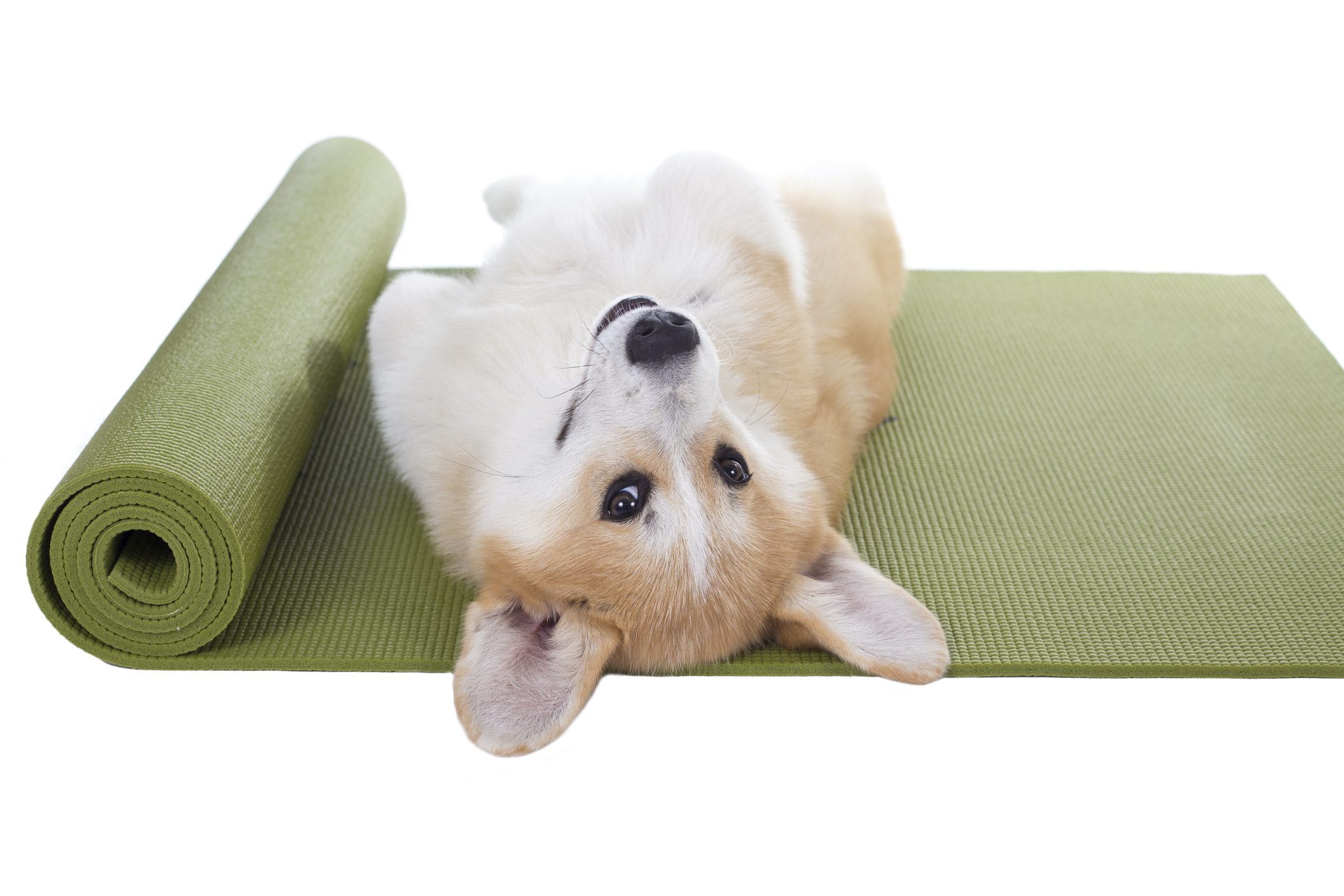 Corgi lying on a yoga mat