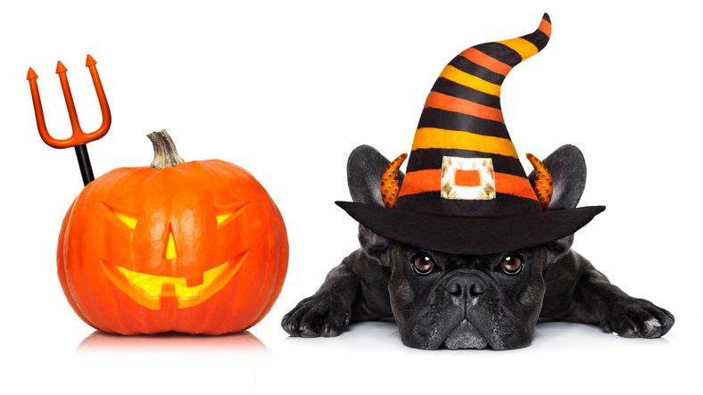 halloween devil french bulldog dog beside a pumpkin, scared and frightened, with pumpkin, isolated on white background