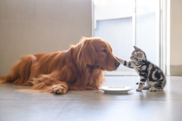 Kitty and Golden Retriever share food dog and cat