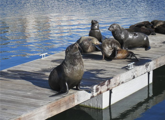 Wild african seals in Capetown at Victoria and Alfred Waterfront